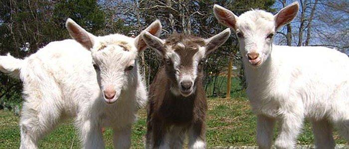 Biotic baby goats