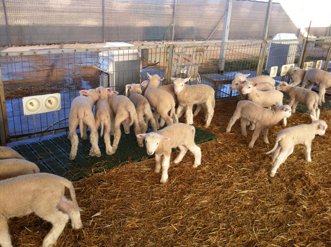 BIOTIC AUTOMATIC LAMB FEEDERS