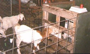Biotic Feeding Goats
