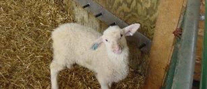 Biotic baby lamb